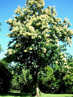 Photo of a mature teak tree in bloom